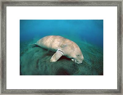 Dugong  Feeding On Sea Grass Framed Print by Mike Parry