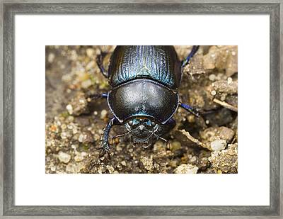 Dung Beetle Framed Print by Science Photo Library