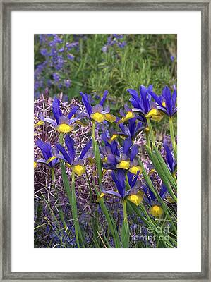 Dutch Iris Iris Xiphium Framed Print by Colin Varndell
