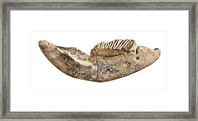 Dwarf Elephant Tooth Framed Print by Natural History Museum, London