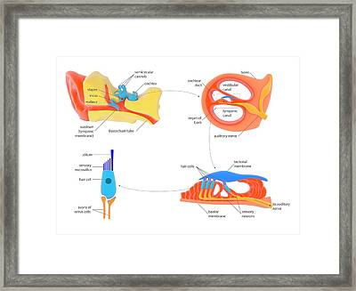Ear And Cochlear Anatomy Framed Print