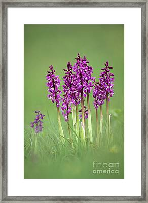 Early Purple Orchids Orchis Mascula Framed Print