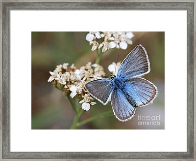 Eastern Baton Blue  Framed Print by Amos Dor