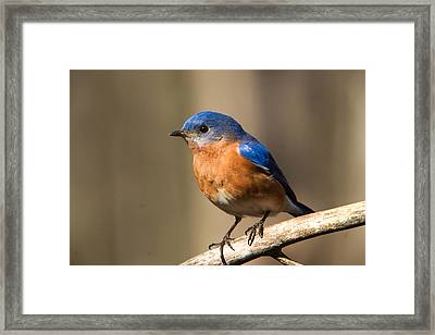 Eastern Bluebird Male 7 Framed Print by Douglas Barnett