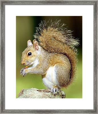 Eastern Gray Squirrel Framed Print by Millard H Sharp