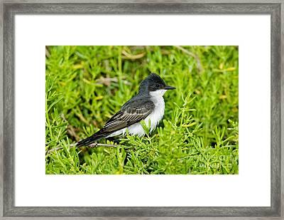 Eastern Kingbird Framed Print by Anthony Mercieca