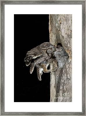 Eastern Screech Owls At Nest Framed Print