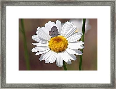 Eastern Tailed Blue Butterfly On Daisy Framed Print by Karen Adams