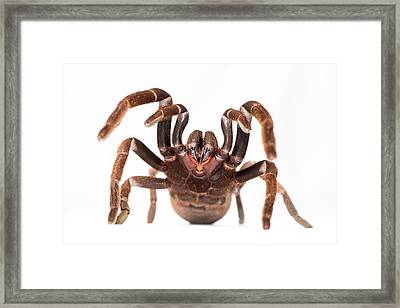 Eastern Tarantula Framed Print by Louise Murray