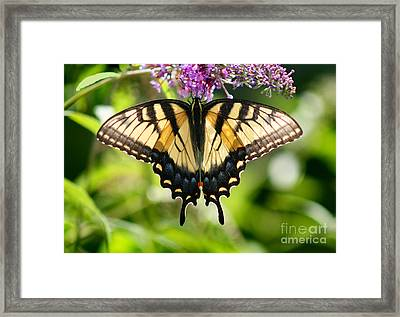 Eastern Tiger Swallowtail Butterfly Framed Print by Karen Adams