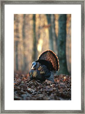 Eastern Wild Turkey (meleagris Framed Print