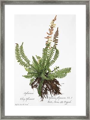 Ebony Spleenwort Framed Print