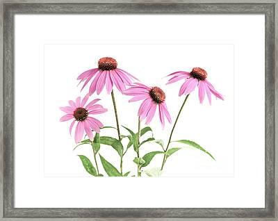 Echinacea Purpurea Flowers Framed Print by Elena Elisseeva