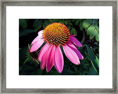 Framed Print featuring the photograph Echinacea Purpurea by Helene U Taylor