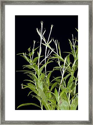Effects Of Lack Of Sunlight On Plant Framed Print