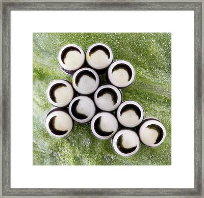 Eggs Of The Harlequin Cabbage Bug Framed Print by Us Geological Survey