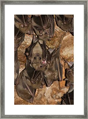 Egyptian Fruit Bat Rousettus Aegyptiacus Framed Print by Photostock-israel