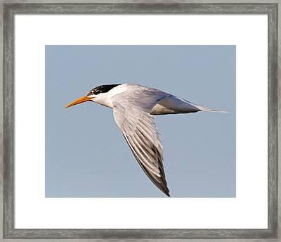 Elegant Tern Framed Print