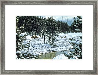 Elk In Montana Framed Print by Larry Stolle