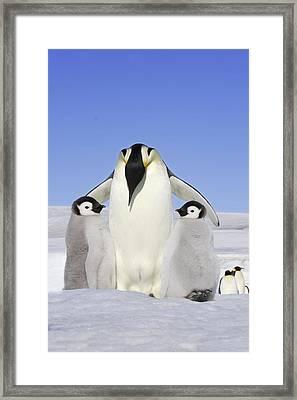 Emperor Penguin And Chicks Framed Print