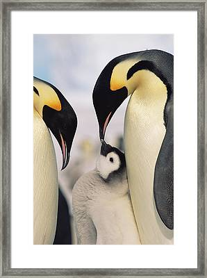 Emperor Penguin Parents With Chick Framed Print