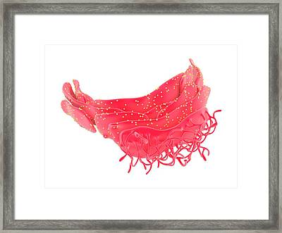 Endoplasmic Reticulum Framed Print by Science Photo Library
