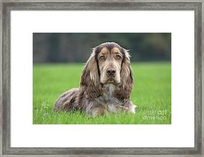 English Cocker Spaniel Dog Framed Print by Johan De Meester