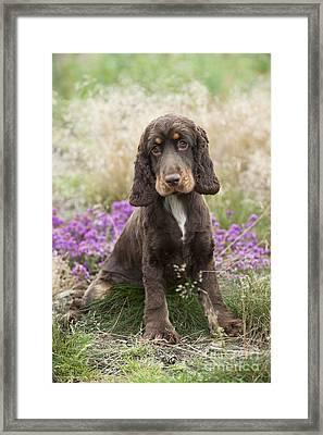 English Cocker Spaniel Puppy Framed Print by John Daniels