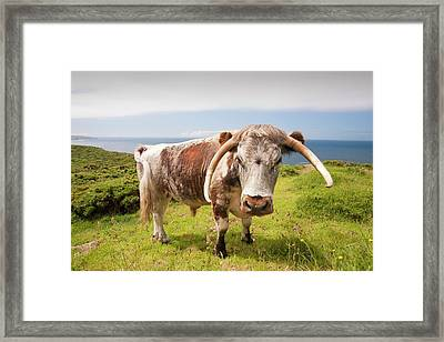 English Long Horn Cattle Framed Print by Ashley Cooper