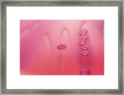 Escherichia Coli Bacteria Culture Framed Print by Daniela Beckmann