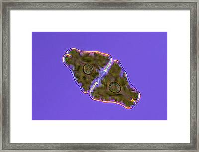 Euastrum Desmid Framed Print by Marek Mis