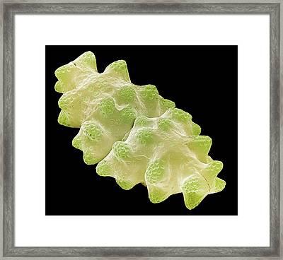 Euastrum Desmid Framed Print