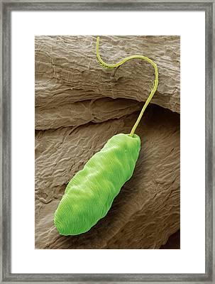 Euglena Flagellate Protozoan Framed Print