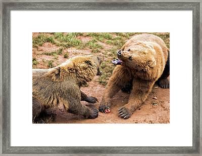 Eurasian Brown Bears Fighting Framed Print by Nicolas Reusens