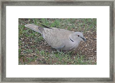 Eurasian Collared Dove  Framed Print by Ruth  Housley
