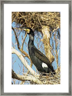 Eurasian Cormorant (phalacrocorax Carbo Framed Print by Martin Zwick