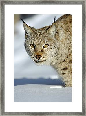 Eurasian Lynx In Snow Framed Print by Willi Rolfes