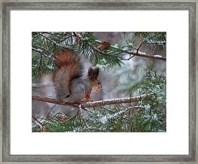 Eurasian Red Squirrel Framed Print by Jouko Lehto