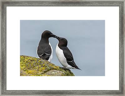 Europe, Iceland, Latrabjarg Framed Print by Jaynes Gallery