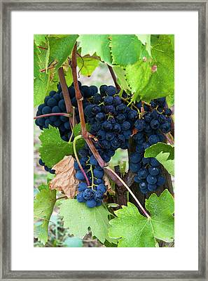 Europe, Italy, Tuscany, Chianti Framed Print by Terry Eggers