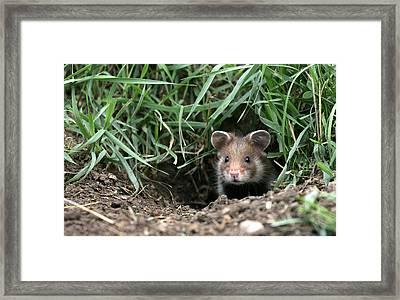 European Hamster Framed Print