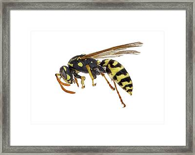 European Paper Wasp Framed Print
