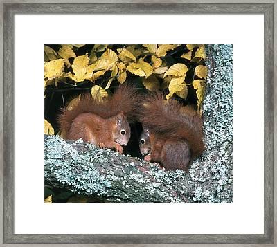 European Red Squirrels Framed Print by Hans Reinhard