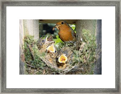 European Robin And Chicks Framed Print