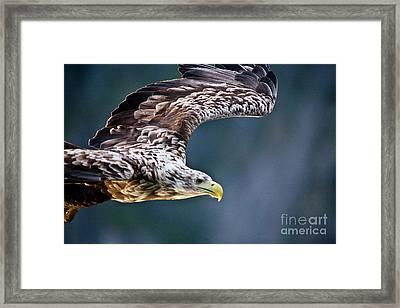 European Sea Eagle Framed Print by Heiko Koehrer-Wagner