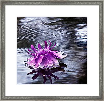 Evening Blossom Of  Victoria Regia. Royal Botanical Garden In Mauritius Framed Print by Jenny Rainbow