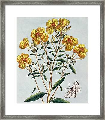 Evening Primrose Framed Print by Pierre Joseph Buchoz
