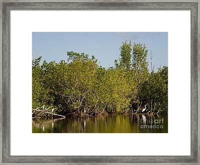 Everglades  Egrets Framed Print