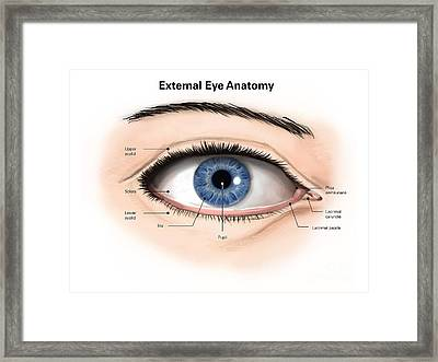 External Anatomy Of The Human Eye Framed Print by Alan Gesek