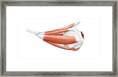 Eye Muscles Framed Print by Qa International, Universal Images Group/science Photo Library